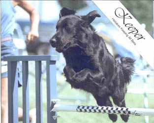 Keeper Jumpering Flat-coated Retriever.