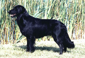 Ashlee Flat-coated Retriever.