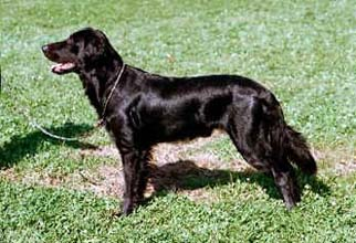 Guinness, Flat-coated Retriever