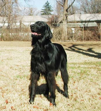Wiley, Flat-coated Retriever