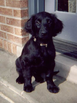 Indy, Flat-coated Retriever Puppy